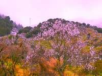 Almond tree blossom in Sicily - Almond tree blossom in Sicily