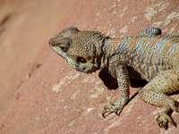 hnědý vousatý drak