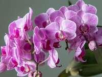 Storczyk Falenopsis - m................................