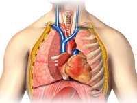 THORAX - Asamblarea inimii și plămânilor.