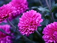 pink chrysanthemums - m ..........................