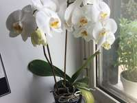 virágzó orchidea