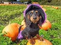 Dachshund-pumpkins - A beautiful dachshund poses between pumpkins