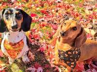 2 dachshunds in autumn leaves - 2 dachshunds in autumn leaves