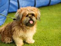 brown and gray Lhasa apso puppy