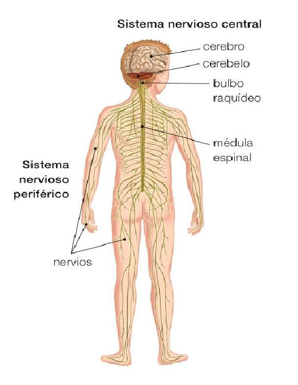 NERVOUS SYSTEM - INFOGRAPHIC OF THE NERVOUS SYSTEM (5×7)