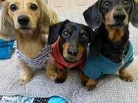 Daphné, Crusoe and Oakley - Daphne, Crusoe and Oakley, 3 beautiful dachshunds