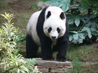 Panda puzzel