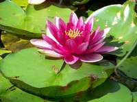 Езерце с лилия Vero в Корсика