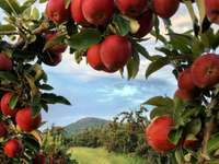 Plantation de pommiers - Plantation de pommiers en automne