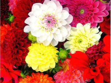 Kvetoucí jiřiny na podzim