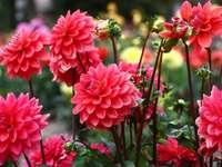 Dahlias en fleurs à l'automne