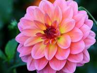 Blooming dahlia in autumn