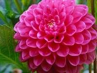 Dahlia en fleurs à l'automne