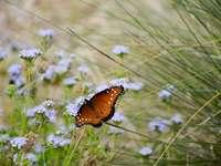 papillon marron et noir sur fleur violette