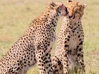 2 ghepardi la câmp în timpul zilei