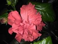 Червената роза