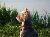 długowłosy pies o czerwonym umaszczeniu siedzący w pobliżu zielonych traw - Byliśmy nad małym jeziorem niedaleko naszego rodzinnego miasta z przyjaciółmi i ich psem. Szuka�