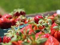 fraises rouges sur plateau en acier inoxydable - Cueillette de fraises. Russell Orchards, Ipswich, Massachusetts, États-Unis