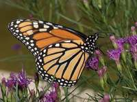Pretty monarch - Stunning monarch butterfly