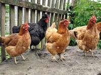 poules poussières