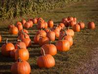 photography of pumpkins on ground at daytime - Pumpkin Picking. Cider Hill Farm, Amesbury, United States