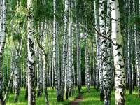 weg door het berkenbos