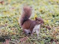 wiewiórka brązowa