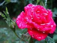 роза с роса
