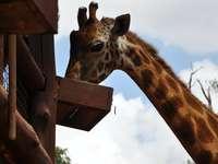 brązowa żyrafa w ciągu dnia - Żyrafa. Hrabstwo Nairobi, Kenia