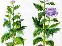 Chryzantéma - Podzimní květina - chryzantéma