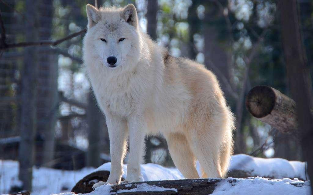 Μια αλεπού σε έναν βράχο