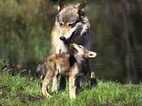 Mother Wolf and a young wolf