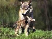 Madre lupo e un giovane lupo