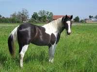 Un cheval pie