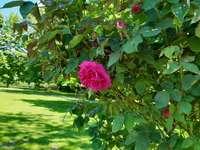 храст в парка и едно цвете