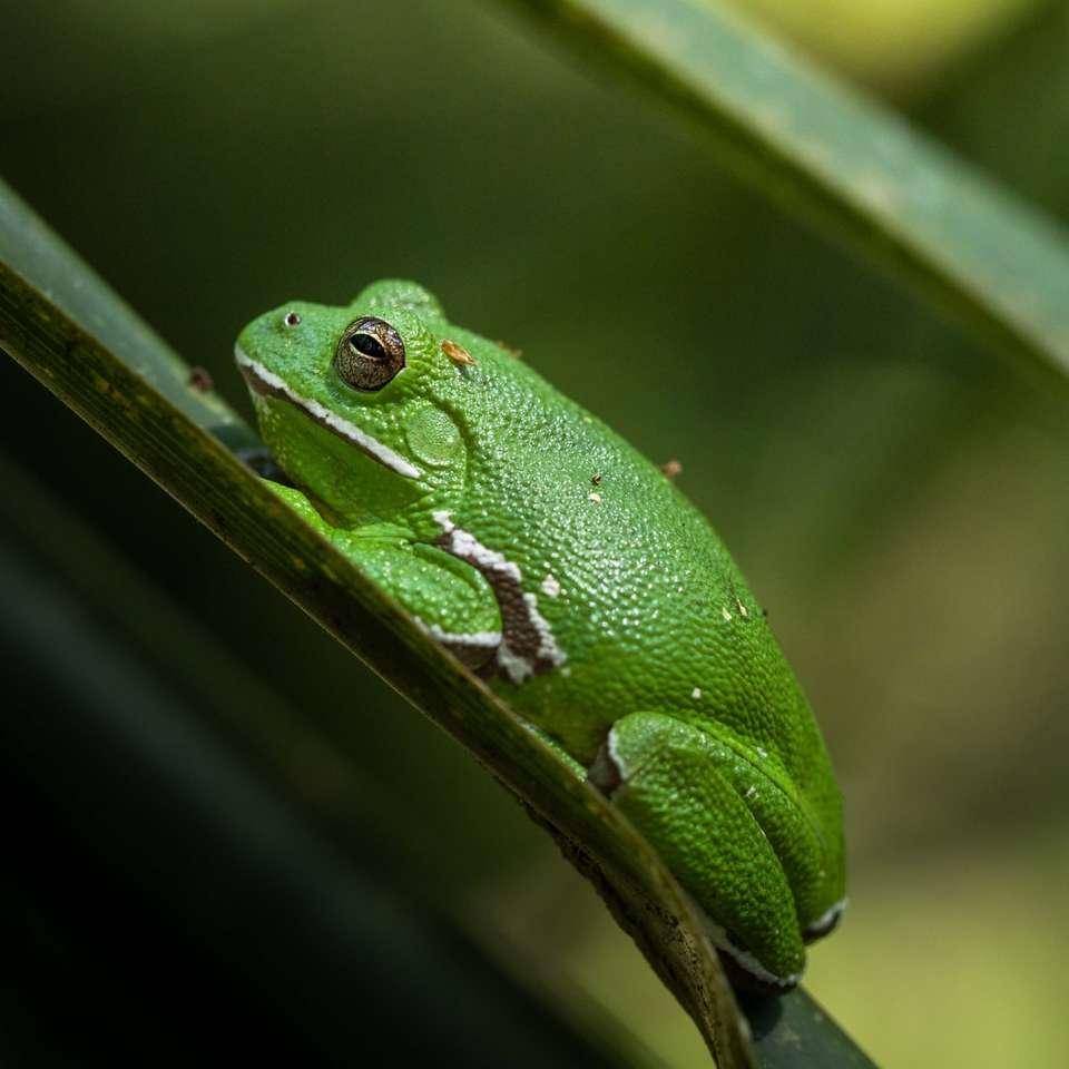 zelená žába posazená na zelený list selektivní zaměření fotografie
