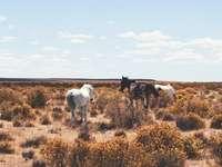 három fehér és fekete ló a nyílt terepen
