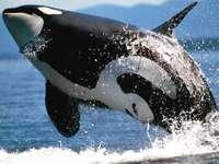 Όρκα άλμα - Μεγαλοπρεπές άλμα της φάλαινας δολοφόνος