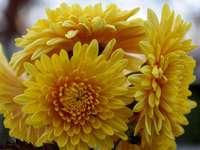 Chryzantéma - Podzimní květiny - vyřešte tuto hádanku