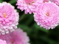 Chryzantéma - Puzzle podzimní květiny - chryzantémy