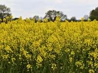 žluté květinové pole pod bílou oblohou během dne