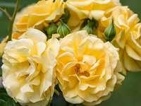 бало с роза