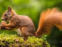 Esquilo - Esquilo ruivo com bolotas