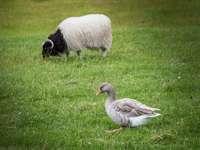szürke kacsa és fehér kos, zöld füvön - Saksun, Feröer-szigetek