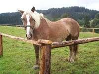 Um cavalo Haflinger - Boa sorte com seu empilhamento! : *