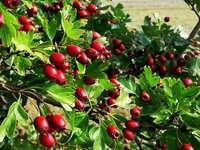 fruits ronds rouges sur l'herbe verte pendant la journée - Les jours de soleil d'automne, la promenade de Notton à Newmillerdam, les fruits d'automn