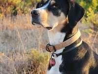 černobílý krátkosrstý pes na poli hnědé trávy