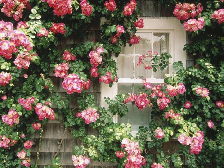катерещи се рози - прозорецът между катерещата се роза (10×8)