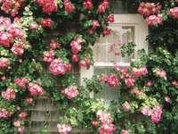 escalando rosas - a janela entre a rosa trepadeira